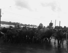 A herd of Jersey milk cows from the Dewdney area are herded towards Mission through water at Hatzic.
